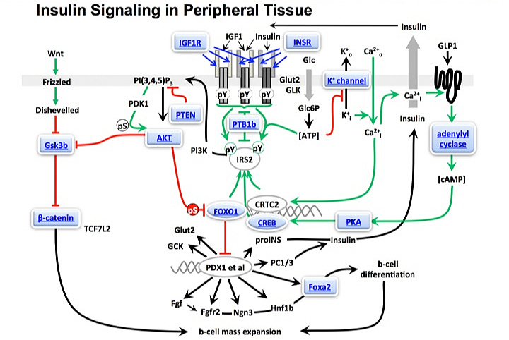 Insulin Signaling in Peripheral Tissue