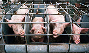 Hogs at an industrial livestock operation