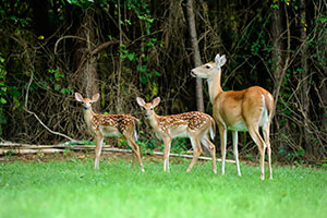 mother deer and her young