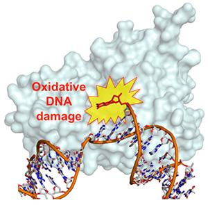 Oxidative DNA damage