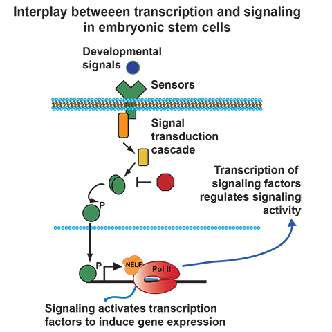 Interplay between transcription and signaling in embryonic stem cells