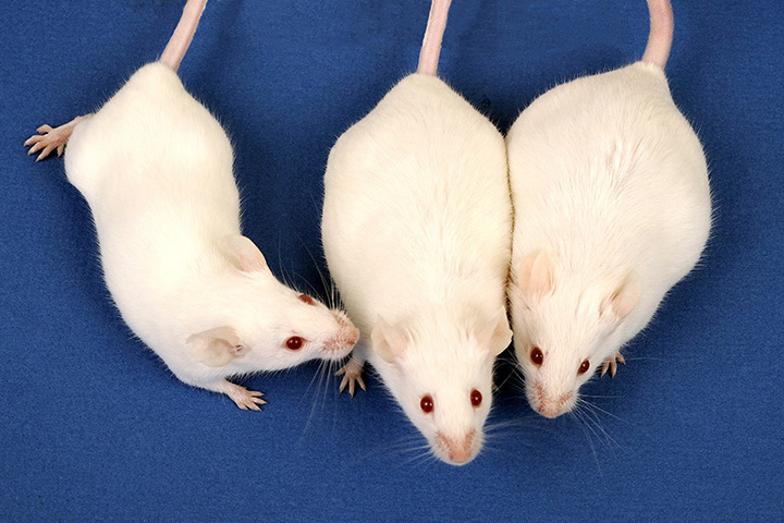 Mice exposed to low-level arsenic