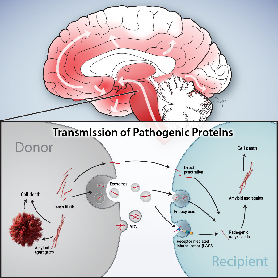 illustration of Transmission of Pathogenic Proteins