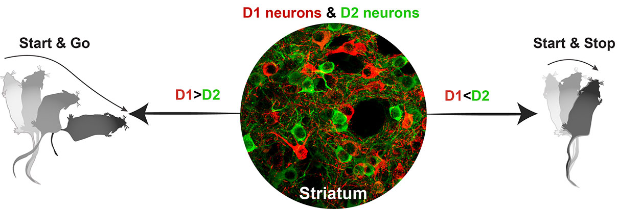 D1 red neurons and D2 green neurons controlling movement