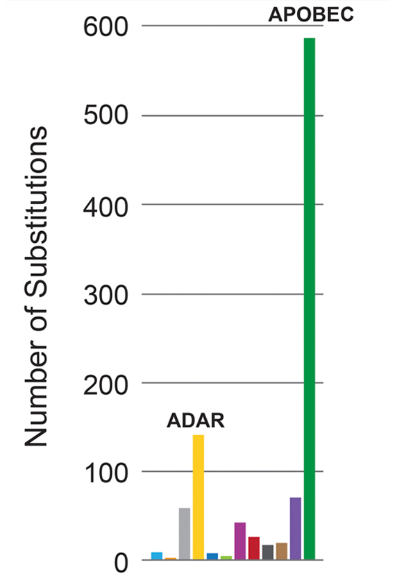 bar chart showing APOBEC enzymes produced nearly six times as many mutations as ADAR enzymes in rubella viruses from patients with PID