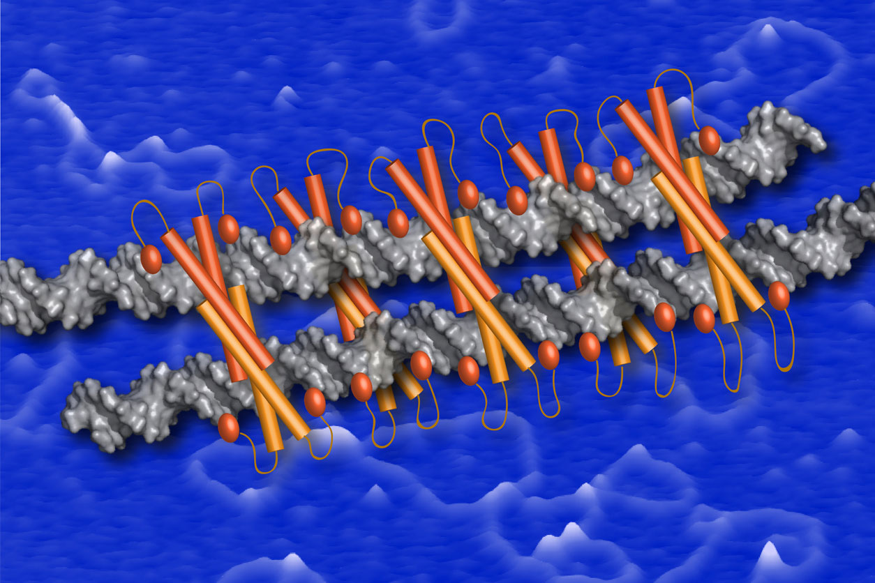 Model for Ctp1-DNA bridging filament is depicted as orange Ctp1 protein tetramers bound to silver DNA strands