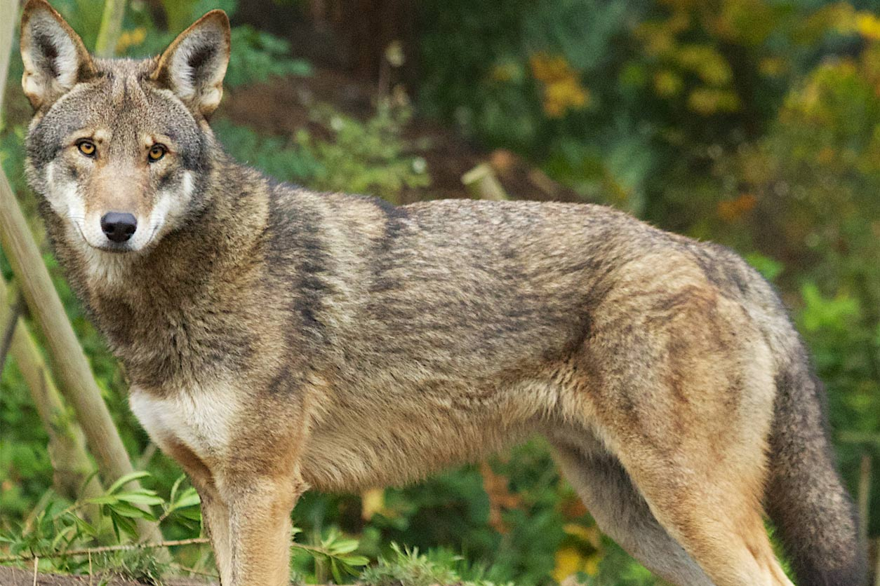Captive red wolf in 2013, Washington