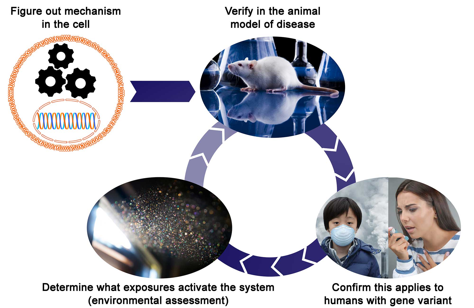 Figure out mechanism in the cell, Verify in the animal model of disease, Determine what exposures activate the system (environmental assessment), Confirm this applies to the humans with gene variant