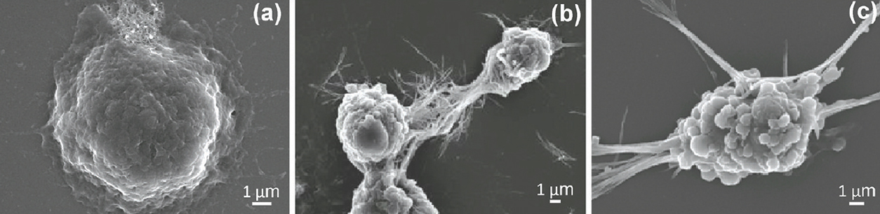 scanning electron micrographs showing cells exposed to shorter nanorods and longer nanowires