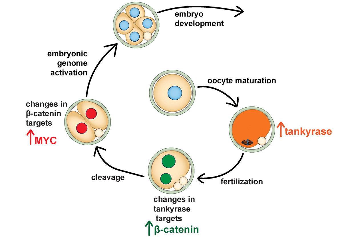 process of Tankyrase to embryo development